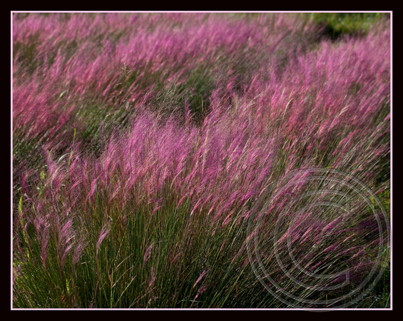 Sweet Grass in bloom