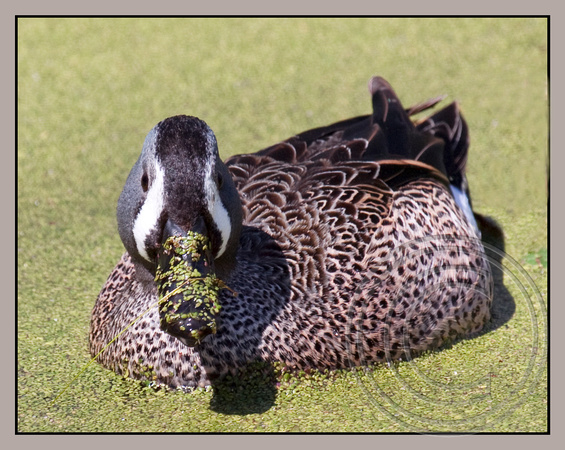 Dabbling in Duckweed