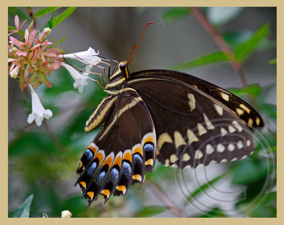 A different swallowtail