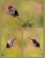 Hummingbird poses