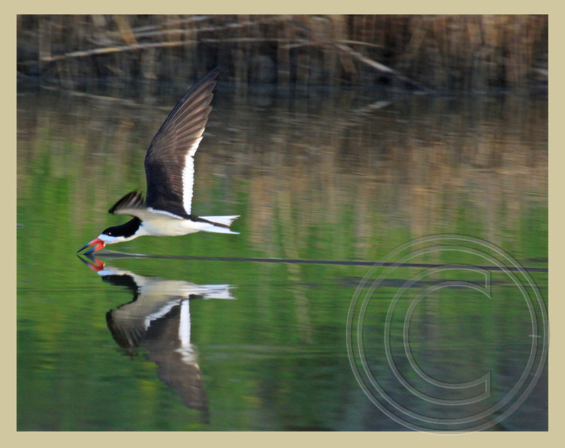 NatureFocusPhotos   Shorebirds & Seabirds